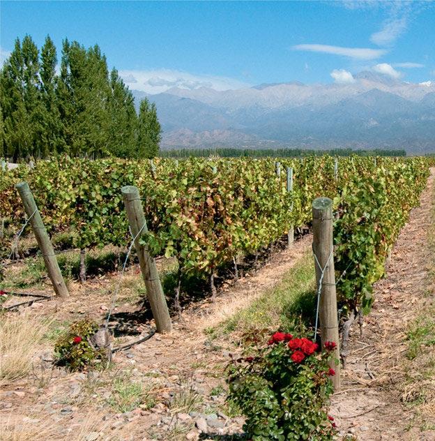 Виноградники в Мендосе (Аргентина)