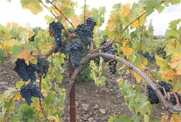 Плечистик (также известен под названиями Летун, Рогатая кисть, Черный винный)