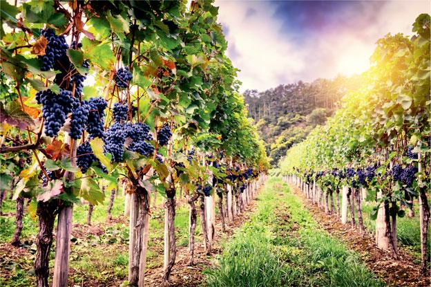 XXI век: виды современного виноградарства