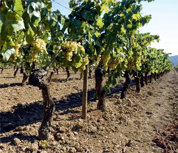 Терруар и виноград