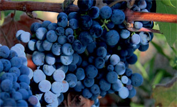 Epifanis wine is crafted from two grape varieties: autochthonous Limnio and international Merlot.